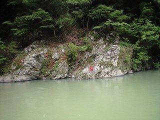 保津峡のイワツツジ