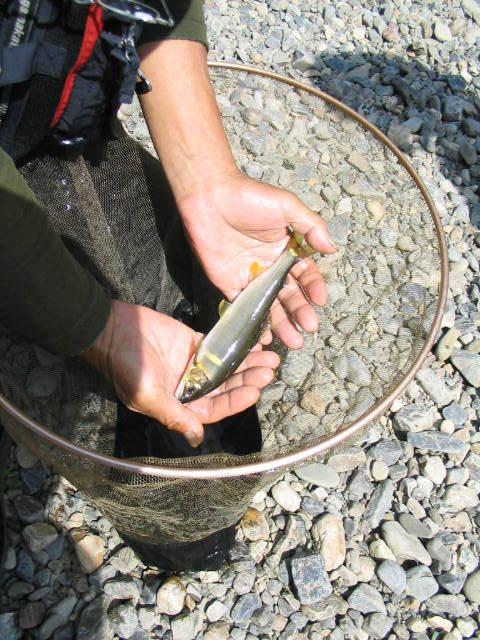 保津川の鮎
